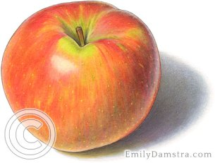 Honeycrisp apple illustration