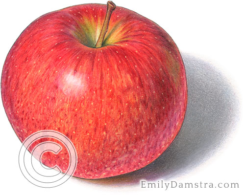 Jonagold apple illustration
