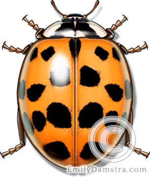 Asian lady beetle – Emily S. Damstra