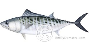 Atlantic bonito Sarda sarda illustration
