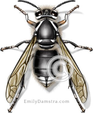 Bald-faced hornet illustration Dolichovespula maculata