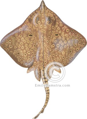 Barn-door skate illustration Dipturus laevis