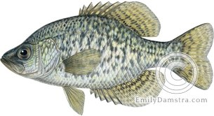 Black crappie illustration Pomoxis nigromaculatus