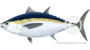 Blackfin tuna illustration Thunnus atlanticus