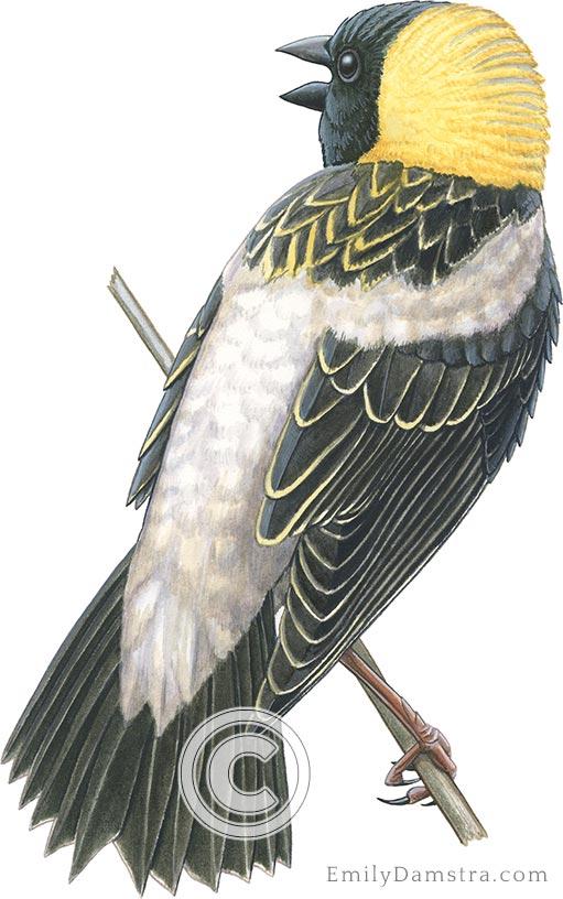 bobolink Dolichonyx oryzivorus illustration male singing