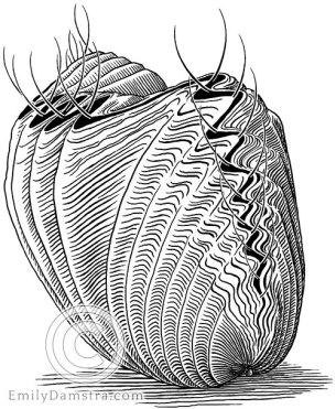Ordovician brachiopod illustration Rhynchotrema