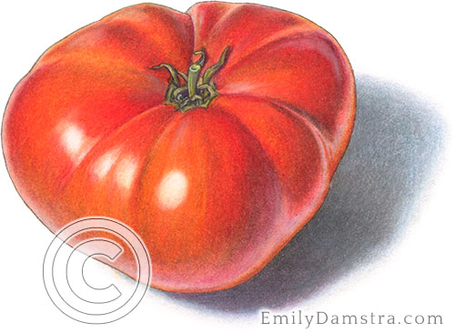 Brandywine tomato illustration