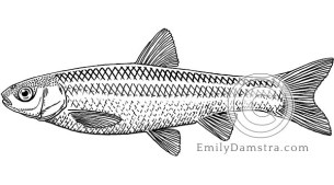 Brassy minnow illustration Hybognathus hankinsoni