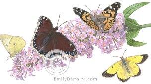 Butterfly bush flowers