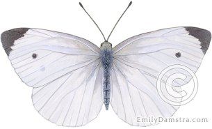 Cabbage white butterfly – Emily S. Damstra