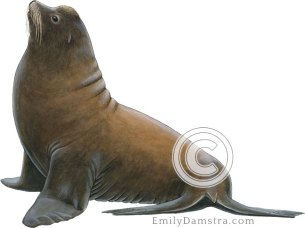 California sea lion male – Emily S. Damstra