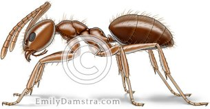 Caribbean crazy ant illustration Paratrechina pubens