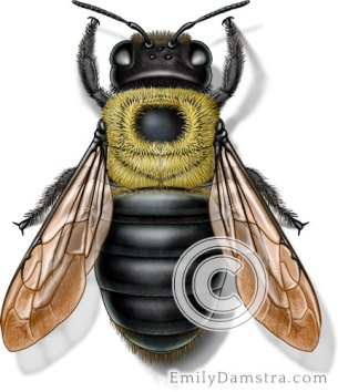 Eastern carpenter bee illustration Xylocopa virginica female