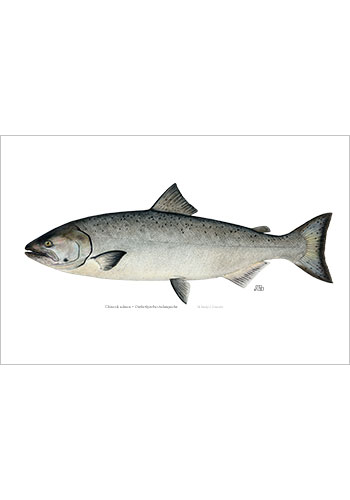 chinook_salmon_print