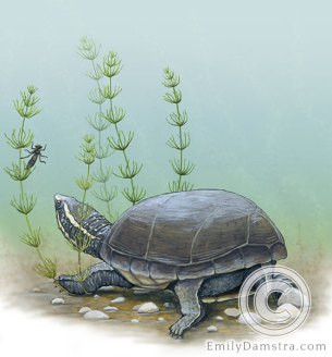 Common musk turtle (Stinkpot) illustration – Emily S. Damstra