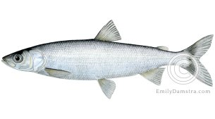 Lake herring Cisco Coregonus artedi illustration