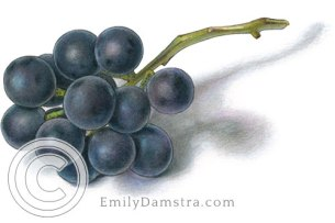 Coronation grapes – Emily S. Damstra