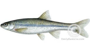 Lake chub Couesius plumbeus illustration