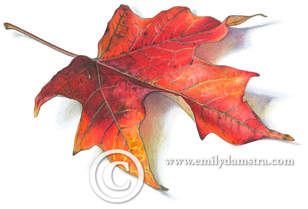 maple leaf illustration © Emily S. Damstra