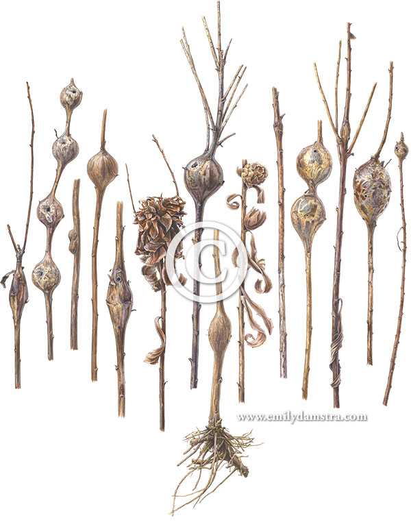 gouache painting of Goldenrod stem galls © Emily S. Damstra