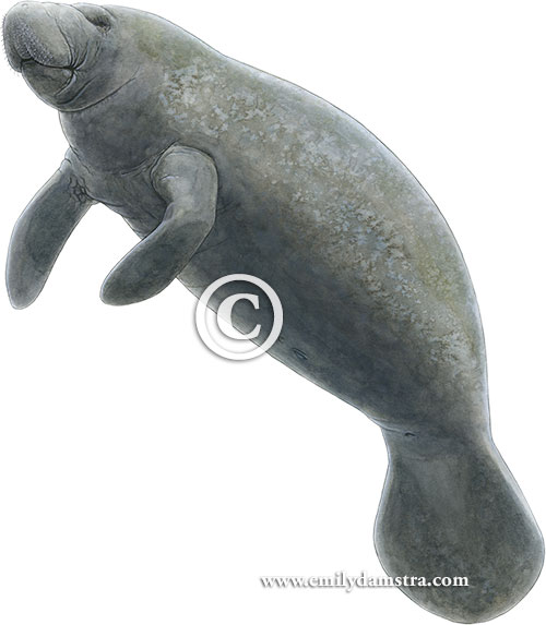 Illustration of manatee © Emily S. Damstra