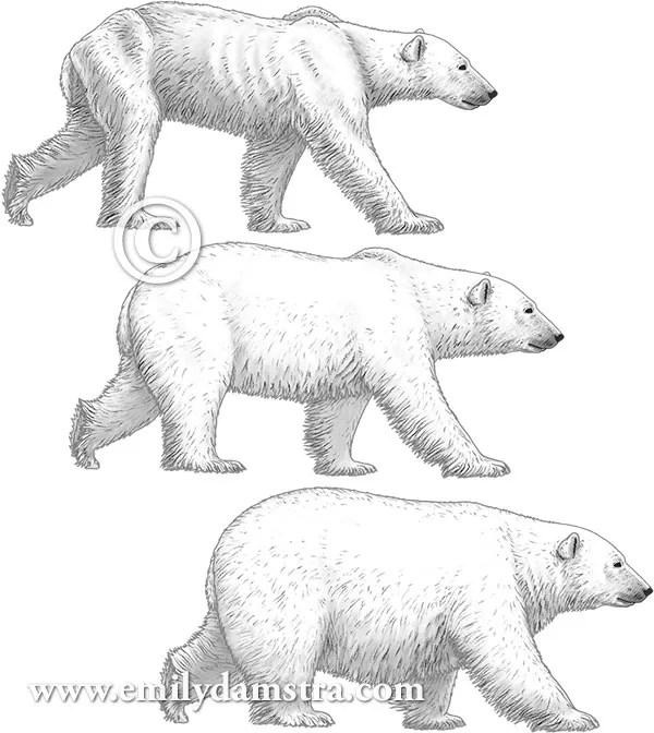 Polar bear illustrations © Emily S. Damstra