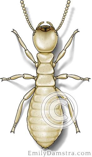 Eastern subterranean termite illustration Reticulitermes flavipes