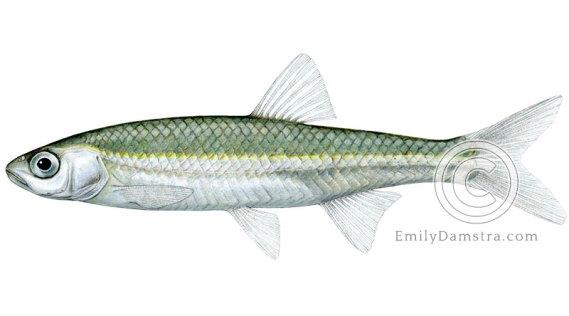 Emerald shiner Notropis atherinoides illustration