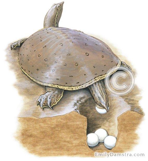 Spiny Softshell Turtle Apalone spinifera illustration