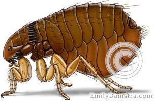 Cat flea illustration Ctenocephalides felis