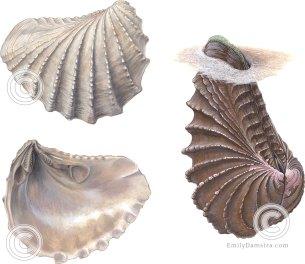 Cretaceous bivalve fossil Pterotrigonia