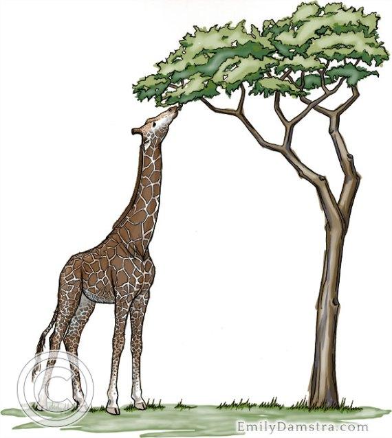Illustration of giraffe feeding on Acacia tree Giraffa camelopardalis