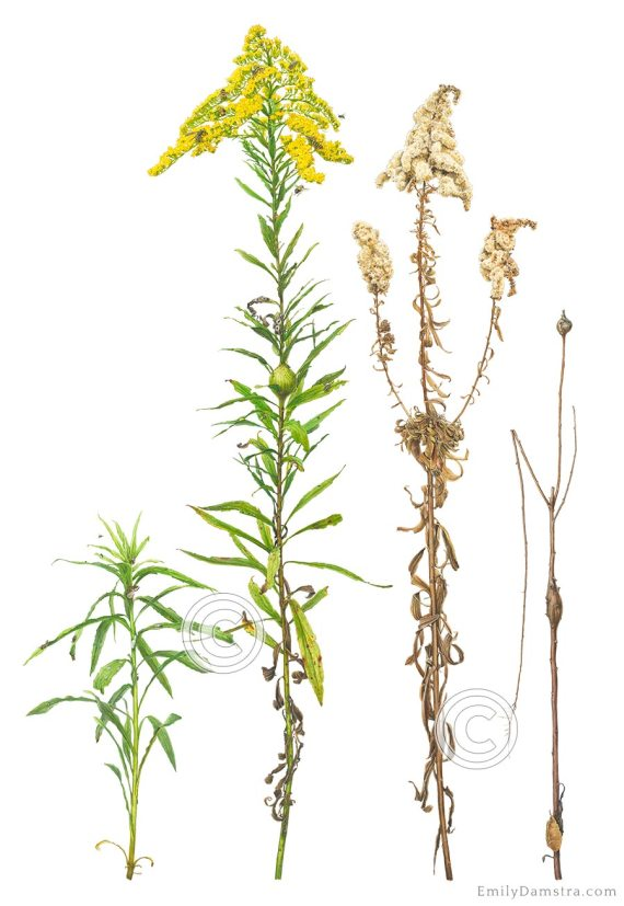 goldenrod Solidago altissima illustration
