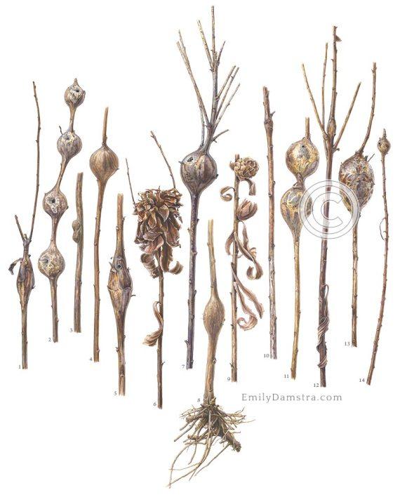 Goldenrod stem galls illustration solidago