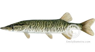 Grass pickerel – Emily S. Damstra