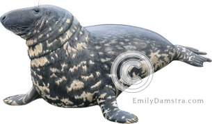 Gray seal male – Emily S. Damstra