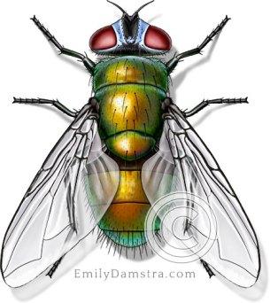 Common green bottle fly illustration Phaenicia sericata female