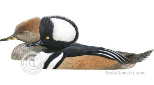 Hooded mergansers – Emily S. Damstra