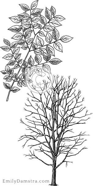 Kentucky coffeetree illustration Gymnocladus dioicus