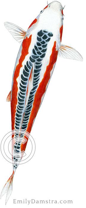 Shusui koi illustration