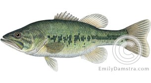 Largemouth bass – Emily S. Damstra