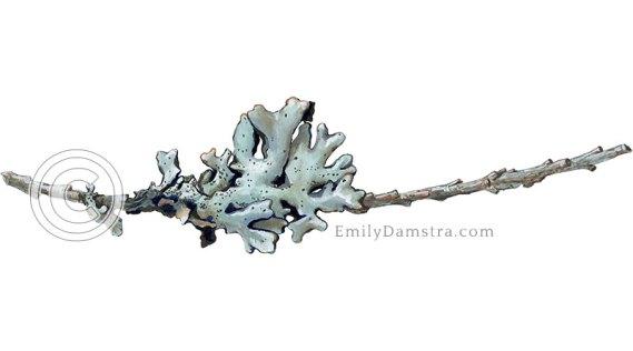 Illustration of lichen on a tiny twig Hypogymnia