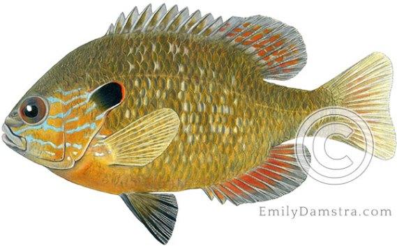 Longear sunfish Lepomis megalotis illustration