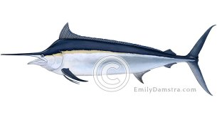 Black marlin illustration Makaira indica