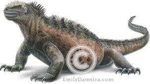 Marine iguana – Emily S. Damstra