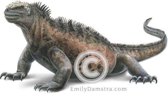 Marine iguana illustration Amblyrhynchus cristatus galapagos