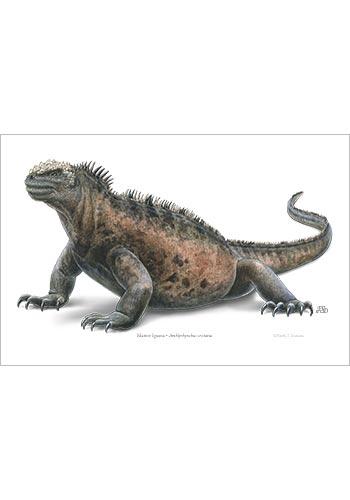 marine_iguana-print