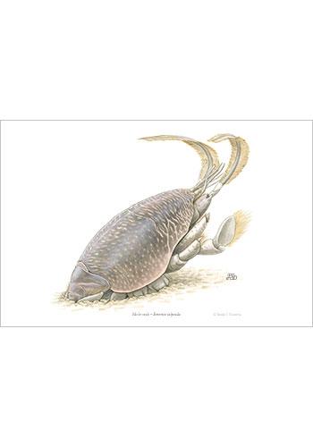 mole_crab_print