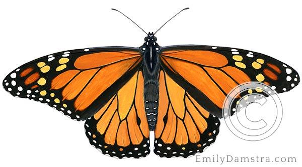 Monarch butterfly illustration Danaus plexippus