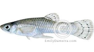 Mosquitofish illustration Gambusia affinis